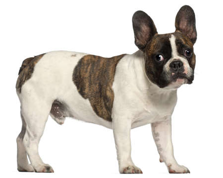 French Bulldog, 8 months old, standing in front of white background photo