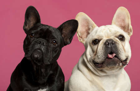 french bulldog: French Bulldogs, 2 years old, in front of pink background