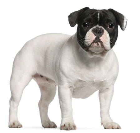 French Bulldog, 1 year old, standing in front of white background photo