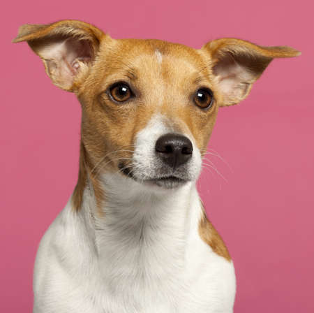 Close-up of Jack Russell Terrier, 10 months old, in front of pink background photo