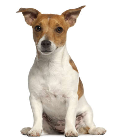 jack russell terrier: Jack Russell Terrier, 10 months old, sitting in front of white background Stock Photo