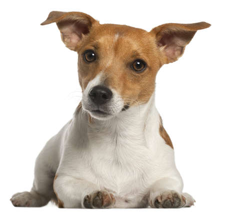 jack russell: Jack Russell Terrier, 10 months old, lying in front of white background