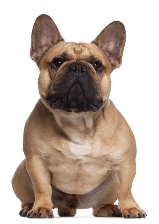 french bulldog: French Bulldog, 2 years old, sitting in front of white background