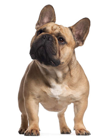 2 years old: French Bulldog, 2 years old, standing in front of white background