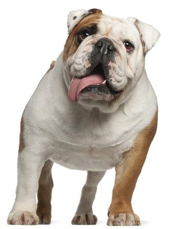 animal tongue: Bulldog inglese, 5 anni, in piedi di fronte a sfondo bianco
