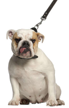 English Bulldog on leash, 1 year old, in front of white background photo
