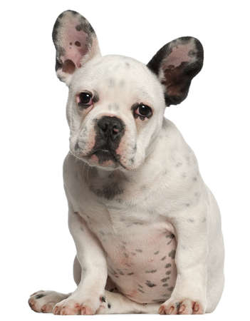 animal themes: French Bulldog puppy, 4 months old, sitting in front of white background