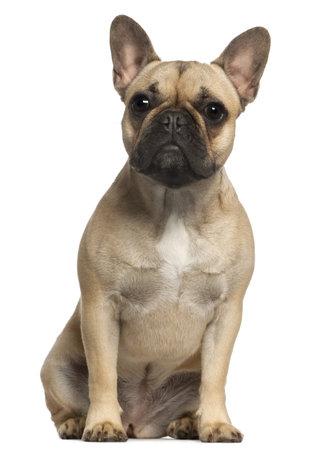 dogo: Bulldog francés, 1 año de edad, sentado delante de fondo blanco