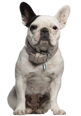 animal themes: French Bulldog, sitting in front of white background