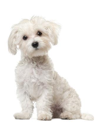 fondo blanco: Perrito malt�s, 6 meses de edad, sentado delante de fondo blanco