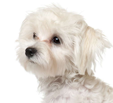 maltese dog: Close-up of Maltese puppy, 6 months old, in front of white background