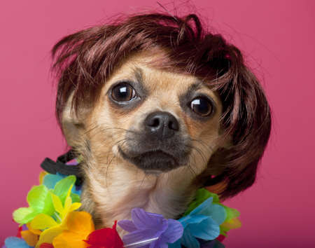 hawaiian lei: Close-up of Chihuahua wearing wig and colorful lei, 12 months old, in front of pink background Stock Photo