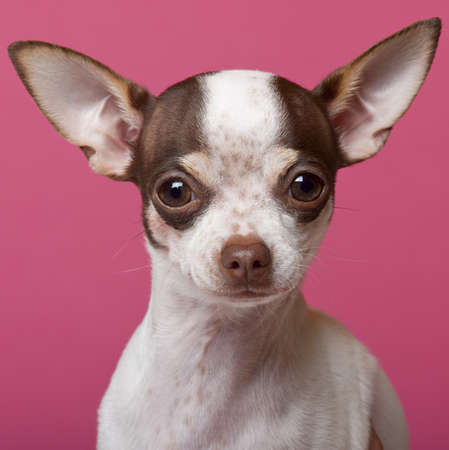 Close-up of Chihuahua puppy, 6 months old, in front of pink background photo