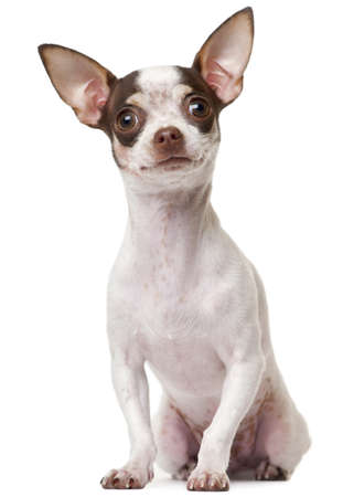 chihuahua pup: Chihuahua puppy, 6 months old, sitting in front of white background