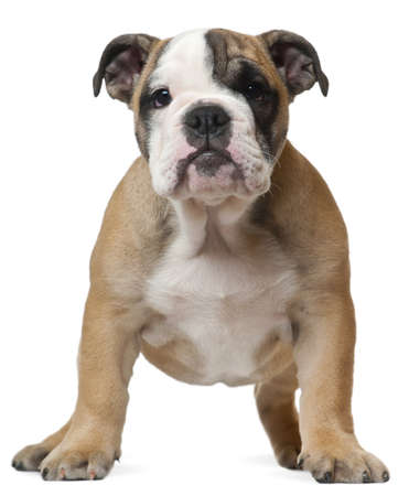 English Bulldog puppy, 11 weeks old, standing in front of white background photo