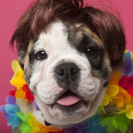 Close-up of English Bulldog puppy wearing a wig and colorful lei, 11 weeks old, in front of pink background photo