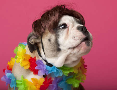 animal themes: Close-up of English Bulldog puppy wearing a wig and colorful lei, 11 weeks old, in front of pink background