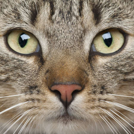9 months: Close-up of European Shorthair cat, 9 months old Stock Photo