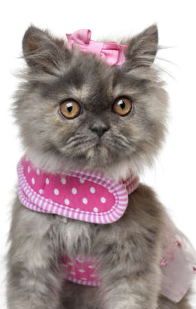 persian cat: Persian kitten dressed in pink, 3 months old, in front of white background