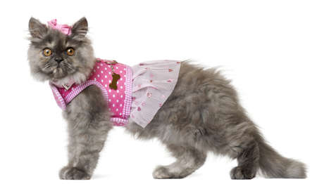 outfit: Persian kitten dressed in pink, 3 months old, in front of white background