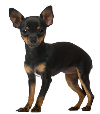 chihuahua dog: Chihuahua Puppy, 5 months old, standing in front of white background Stock Photo