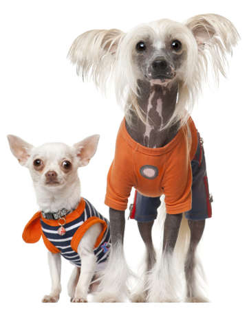 Dressed Chihuahua and Chinese Crested dog in front of white background photo