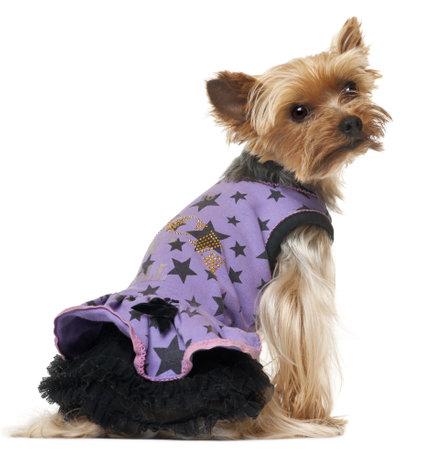 perros vestidos: Yorkshire terrier sentado y llevaba vestido púrpura sobre fondo blanco.