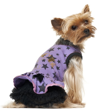 purple dress: Yorkshire Terrier sitting and wearing purple dress on white background. Stock Photo