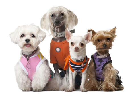 Group of dressed dogs in front of white background photo