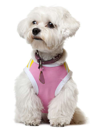 maltese dog: Maltese wearing pink shirt sitting in front of white background
