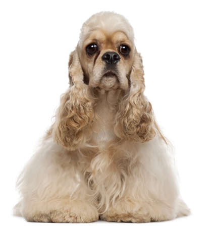 spaniel: American Cocker Spaniel, 1 year old, sitting in front of white background Stock Photo