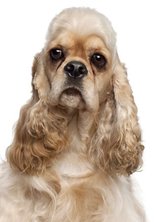 Close-up of American Cocker Spaniel, 1 year old, in front of white background Stock Photo - 10775045