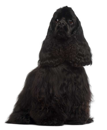 American Cocker Spaniel, 1 year old, sitting in front of white background photo