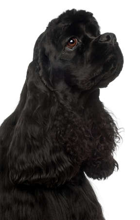 Close-up of American Cocker Spaniel, 1 year old, in front of white background Stock fotó