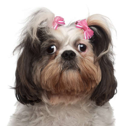tzu: Close-up of Shih Tzu, 18 months old, in front of white background Stock Photo