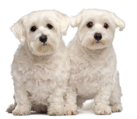 Two Maltese, 2 and 3 years old, sitting in front of white background photo