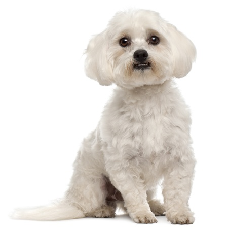 white maltese: Maltese, 3 years old, sitting in front of white background