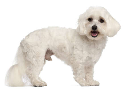 white maltese: Maltese, 3 years old, standing in front of white background