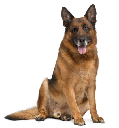 animal themes: German Shepherd Dog, 11 years old, sitting in front of white background