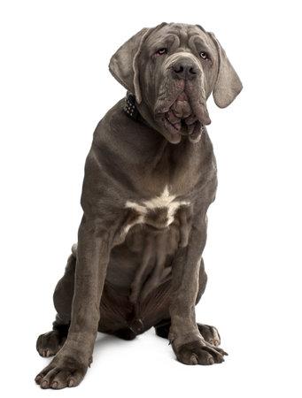 napoletana: Cucciolo mastino napoletano, 6 mesi di et�, seduto di fronte a sfondo bianco