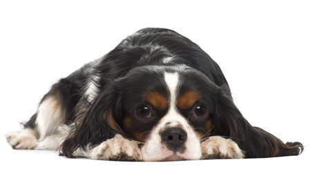 Cavalier King Charles Spaniel, 14 months old, lying in front of white background photo