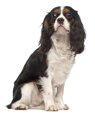 Cavalier King Charles Spaniel, 14 months old, sitting in front of white background photo