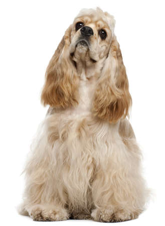 white  fur: American Cocker Spaniel, 1 year old, sitting in front of white background Stock Photo