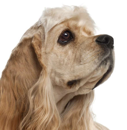 Close-up of American Cocker Spaniel puppy, 1 year old, in front of white background Stock Photo - 10772521