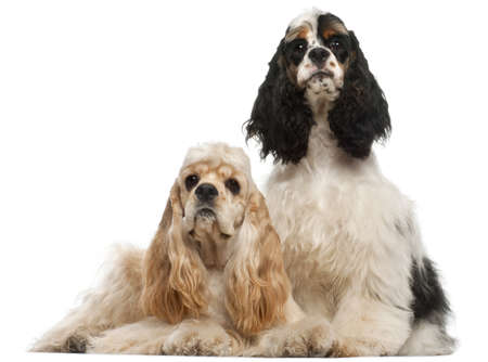 American Cocker Spaniel, 1 year old, and American Cocker Spaniel puppy, 6 months old, in front of white background Stock Photo