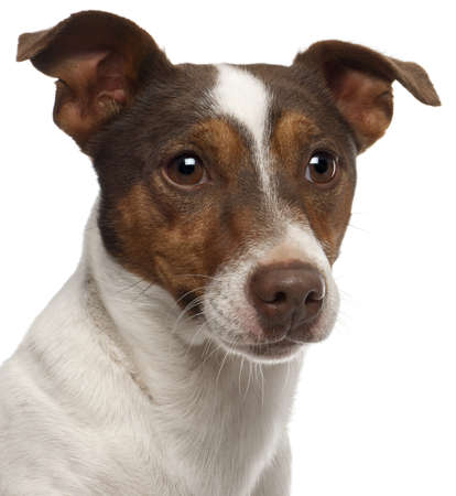 Close-up of Jack Russell Terrier, 3 years old, in front of white background photo