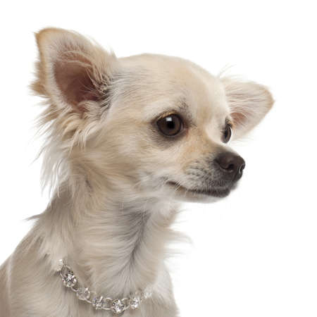 Close-up of Chihuahua, 9 months old, in front of white background photo