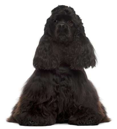 American Cocker Spaniel, 4 years old, sitting in front of white background