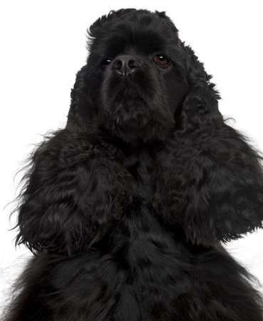 Close-up of American Cocker Spaniel, 4 years old, in front of white background Stock Photo - 10773451