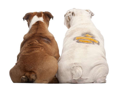 two animals: Rear view of English Bulldogs with design on their back, 2 years old and 7 months old, in front of white background